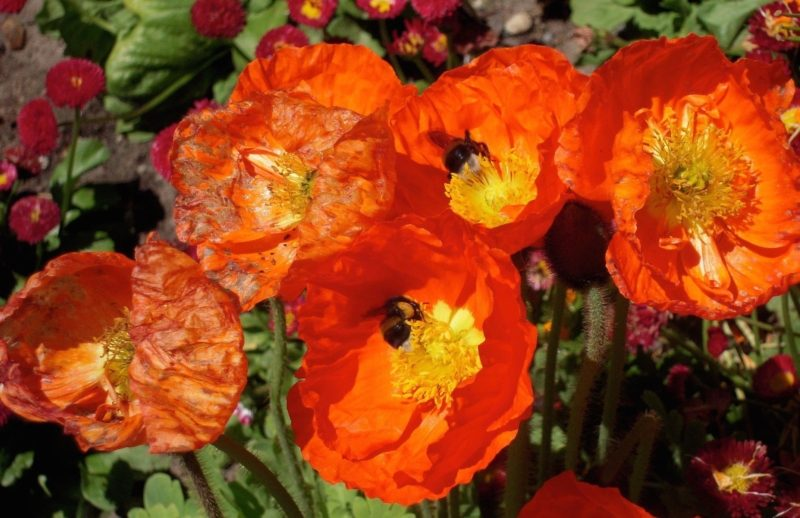 bees-in-poppies-1