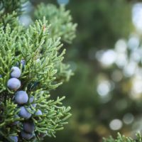 cedar-berries-focus