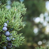 cedar-berries-focus