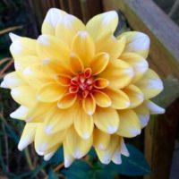 Yellow Dahlia (2)